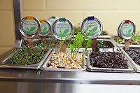 Trays of edible seedlings or microgreens  including oriental mustards, popcorn sprouts, red cabbage and sunflowers.