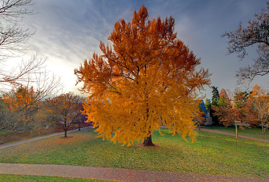 The Gingko tree at the University of Virginia in Charlottesville, Va. Photo/Andrew Shurtleff