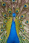 Peacock (Pavo cristatus) male displaying, introduced species, California, USA