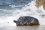Children's Pool, La Jolla, California; waves crash over a mother Harbor Seal (Phoca vitulina) and her pup as they emerge from the shallow water and onto the sandy beach