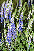 Veronica spicata 'Twilight' compact growing blue flowered perennial