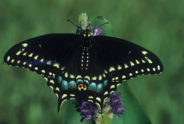 Female Eastern Black Swallowtail Butterfly (Papilio polyxenes), Family Papilionidae, Florida, USA.