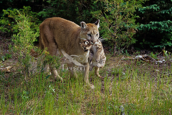 Mountain Lion Mother And Cubs