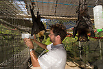 Tolga Bat Hospital -Spectacled Flying Fox in their cage ready to feed on stringed apples  (Pteropus conspicillatus). Volunteer Andrew gives them clean water.