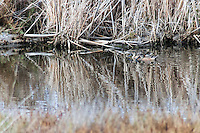 Two Northern shovelers float on marsh water, blending in with the brown marsh grass and reflections.  A rare patch of water during the drought in 2014 at Coyote HIlls Regional Park.