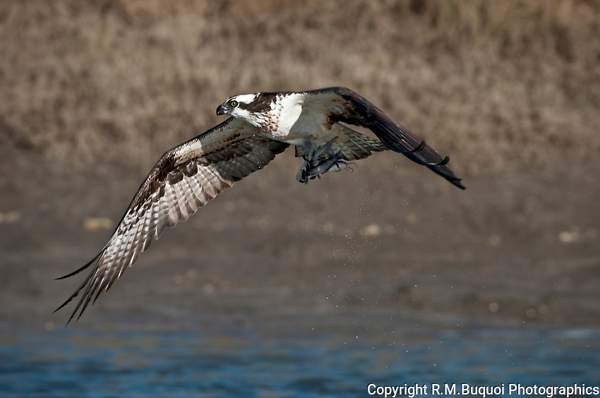 Osprey in Flight with 2 Catfish