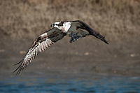 Osprey in Flight with 2 Catfish