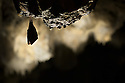 Greater Horseshoe Bat (Rhinolophus ferrumequinum) roosting in cave. Croatia. November.