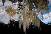 Spanish Moss and epiphyte (air plant), Everglades National Park, Florida