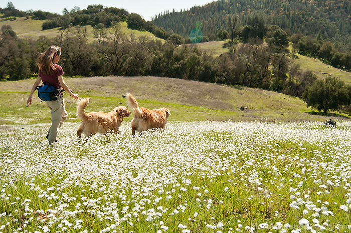 A woman walking with her dogs (golden retrievers) through a field of wildflowers at Magnolia Ranch BLM area, El Dorado County, California