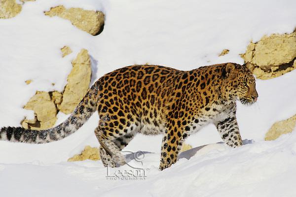 Amur leopard (Panthera pardus orientalus)