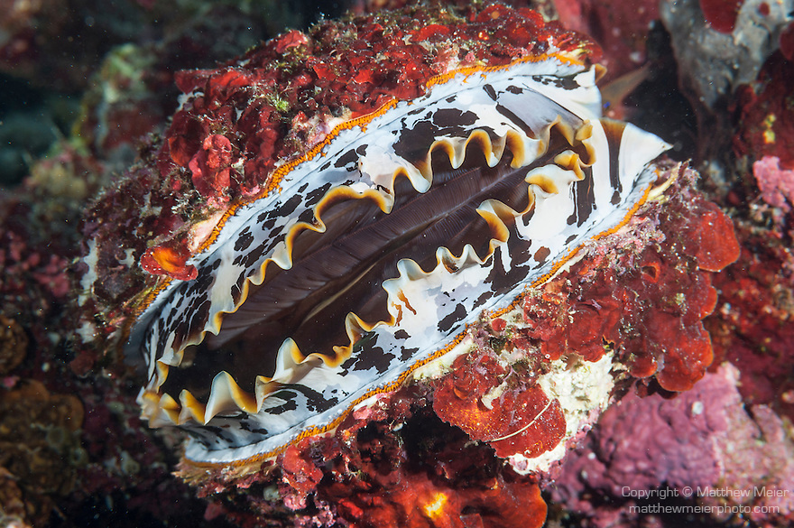 Thandi Giri, Kadhdhoo Island, Laamu Atoll, Maldives; a red, white, black and orange Thorny Oyster on the coral reef