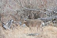 Trophy Wyoming whitetail buck in river bottom habitat