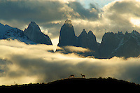 Guanacos @ Sunset - Torres del Paine National Park - Chile - South America.