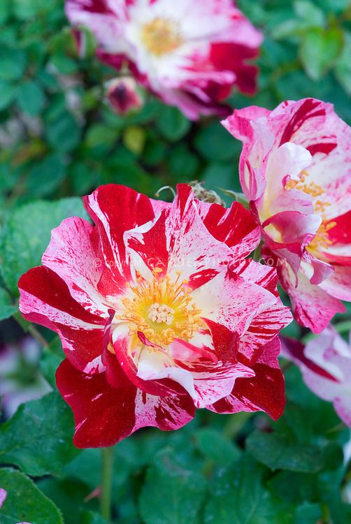 Rosa 'Stars n Stripes' miniature rose