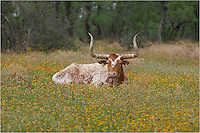 A Texas Longhorn rests in a field of Texas Wildflowers. Thanks to some friends who have a ranch and allow me to photograph some of these regal longhorns in their wildflowers.