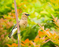 A cedar waxwing (bombycilla cedrorum) is perched on bamboo stalk with a heavenly bamboo (nandina domestica) in background in full colors of red, orange, yellow and green.
