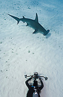 RR1830-D. Great Hammerhead Shark (Sphyrna mokarran), tall dorsal fin, head shape, and huge size (to 6 meters) helps distinguish from other hammerheads. Gestation 11 months, litter size 3-42 pups. Underwater photographer (model released) captures the moment. Bahamas, Atlantic Ocean.<br /> Photo Copyright &copy; Brandon Cole. All rights reserved worldwide.  www.brandoncole.com