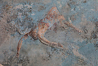 Detail of the fresco panel of the fall of Icarus, with Icarus falling through the sky, in the triclinium of the Casa del Sacerdos Amandus, or House of the Priest Amandus, Pompeii, Italy. The fresco is in the Third Style of Roman wall painting, 20–10 BC, characterised by an ornamental elegance in figurative and colourful decoration. Pompeii is a Roman town which was destroyed and buried under 4-6 m of volcanic ash in the eruption of Mount Vesuvius in 79 AD. Buildings and artefacts were preserved in the ash and have been excavated and restored. Pompeii is listed as a UNESCO World Heritage Site. Picture by Manuel Cohen