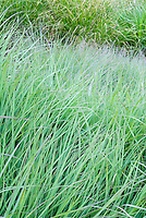 Andropogon gerardii 'Lord Snowdon' (Big Bluestem grass)