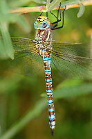 339570017 a wild male paddle-tailed darner aeshna palmata perches on a plant stem along a drainage canal near bishop inyo county california