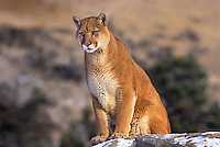 6565326011 a captive mountain lion sits on a snow covered rock outcrop in northern montana