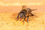 Honey Bee drinking honey from honeycomb, inside hive, Apis mellifera, Kent UK