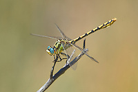 389690012 a wild male great basin snaketail ophiogomphus morrisoni perches on a dead twig along the owens river benton crossing road mono county california