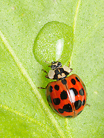 A ladybug drinking water from a leaf