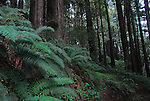 sword ferns and coast redwoods at Forest of Nisene Marks State Park
