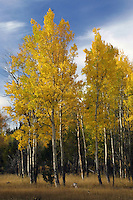 The aspens above Mammoth can be glorious. Yellowstone National Park, Wyoming. <br /> According to an Eastern Slavic legend, Judas Iscariot hanged himself on an aspen tree, hence its leaves have been trembling (quaking) with horror ever since. The species does not grow in the Middle East, so this legend obviously has blended origins.