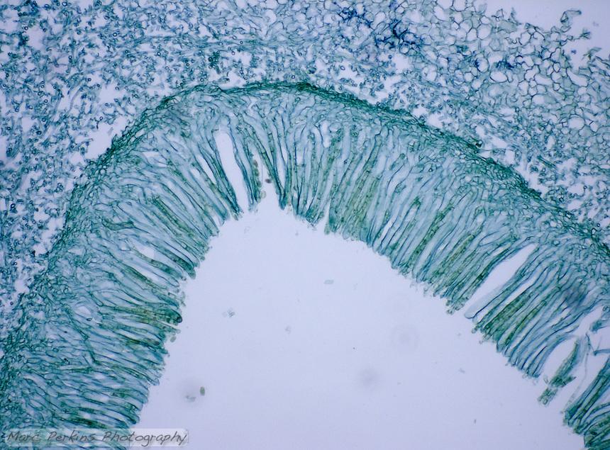 Cross section through an ascocarp (fruiting body) of Morchella sp., an ascomycete.