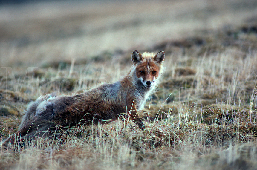 A fox stretches and stares on Round Island in Bristol Bay in southwest Alaska.