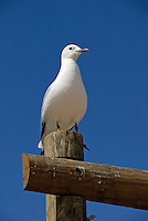 Seagull standing on wooden pole