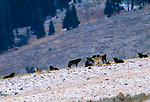 The Leopold pack of grey wolves, Yellowstone National Park, Wyoming