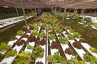 Hydroponic Lettuce Garden, Turtle Island, Yasawa Islands, Fiji