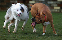 Dayton, left, and Jackson wear each other out at the Laguna Community Dog Park in Elk Grove, CA. Dayton is owned by Robin Skrzypek of Elk Grove. Jackson is owned by Scott and Katherine Fitzgerald of Elk Grove. Photo taken on January 16, 2005.