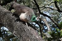 Indian Blue Peahen climbing in oak tree.