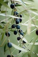 Olives ready for harvest, Abruzzo, Italy