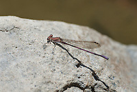 338240007 a wild male amethyst dancer argia pollens perches on a rock at parker canyon lake cochise county arizona