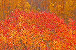 Staghorn Sumac (Rhus hirta) in its showy autumn color