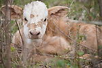 Brazoria County, Damon, Texas; a brown and white newborn calf laying down and hiding in the tall grass