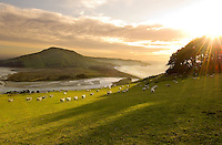 Mob of sheep walking on green grass towards dawn sunrise on sandymount Otago Peninsula - looking towards hoopers inlet and Victory Beach.
