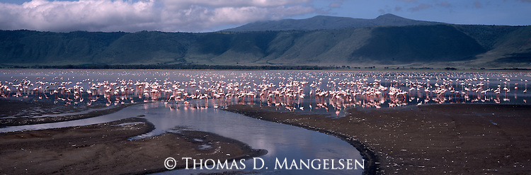 Lesser flamingos stand in Lake Makat in the Ngorongoro Conservation Area, Tanzania.