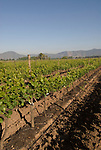 Chile Wine Country: Vineyards at Undurraga Winery, Vina Undurraga, near Santiago..Photo #: ch421-33890..Photo copyright Lee Foster, 510-549-2202, www.fostertravel.com, lee@fostertravel.com.