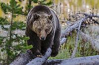 Grizzly Bear (Ursus arctos) walking fallen log along lake shore . Rocky Mountains, U.S., early summer.