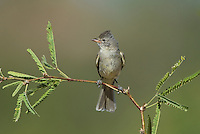 584750009 a wild northern beardless tyrannulet camptostoma imberbe perches on a mesquite branch in the madera grasslands green valley arizona united states