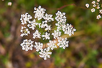 Cow parsley Anthriscus Sylvestris Smaland region. Sweden, Europe.