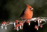 Male northern cardinal perched on branch of red holly berries in ice, December
