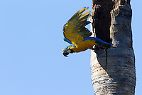 Blue-and-Yellow Macaw (Ara ararauna), Piaui, Brazil